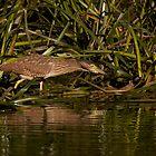 Nankeen Night Heron by smylie