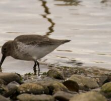 Dunlin On The Beach Sticker