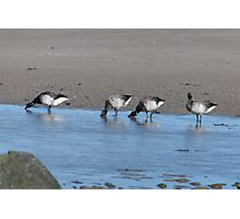 Brent Geese, Cunnigar strand, County Waterford, Ireland Photographic Print