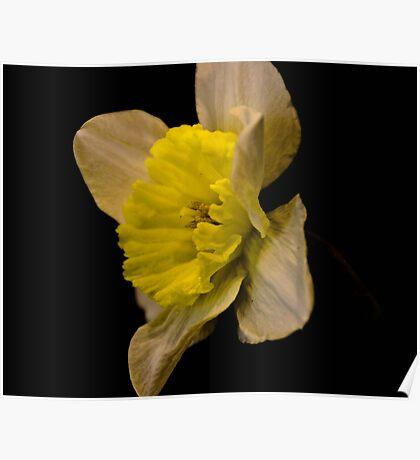 Daffodil on black  Poster