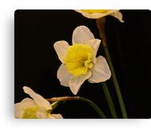 triple daffodils on black  Canvas Print