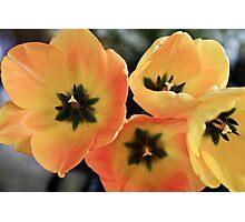 Yellow orange tulips Photographic Print