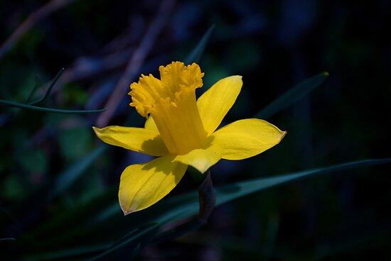 Harbinger of Spring by Jeanne Sheridan