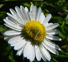 Sweet Daisy by Johnathan Bellamy