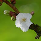 Single Blossom by Johnathan Bellamy