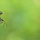 Wheel Bug (Nymph)  by Jeff Ore