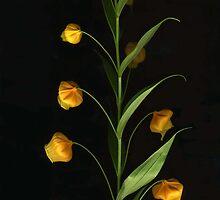 Sandersonia by Barbara Wyeth