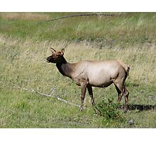 ELK DOE - YELLOWSTONE PARK Photographic Print