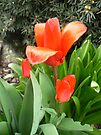 sweet tulips by LisaBeth