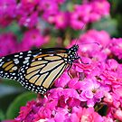 Monarch Butterfly on Pink Flowers by Shaun  Gabrielli