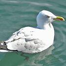 Seagull Swim by Johnathan Bellamy