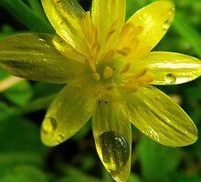 Wet Buttercup by bertie01