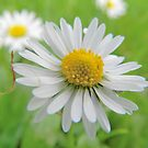 Daisy Meadow by Johnathan Bellamy
