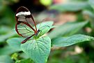Glasswing on Leaf - Greta oto by Lepidoptera