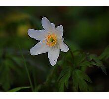 Wild Flowers of Spring, Wood Anemone ( Anemone Nemorosa) Photographic Print