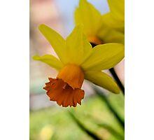 Downward Daffodil  Photographic Print