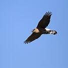 Cooper's Hawk Shows Some Attitude by DARRIN ALDRIDGE