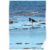 Pied Oystercatcher Poster