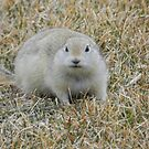 Prairie Dog by Darcy Overland
