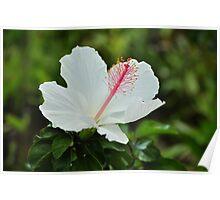 Pure White Hibiscus Poster