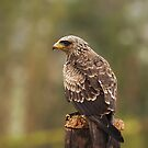 Yellow Billed Kite by Elaine123