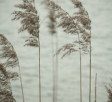 Soft Reeds by redfibres