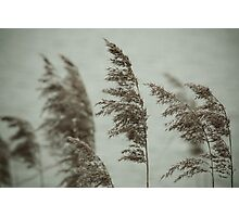 Soft Reeds 2 Photographic Print