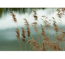 Reeds Coloured Photographic Print