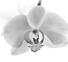 White Orchid by redfibres