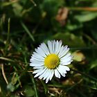 Single Daisy by karina5