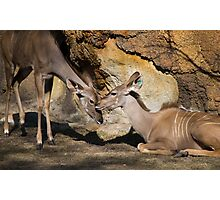 Greater Kudu Affection Photographic Print