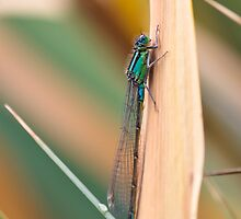 Damselfly by redfibres