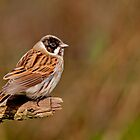 Reed Bunting by Margaret S Sweeny