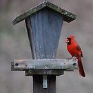 Cardinal and Feeder by Mark McReynolds
