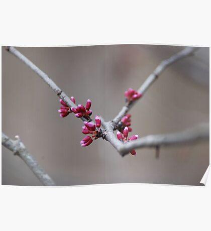 Spring Buds Poster