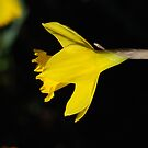 First Daff of 2012 by Barbara Anderson