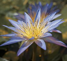 Tropical Water Lily by Vac1