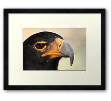 Verraux's or Black eagle.  Framed Print