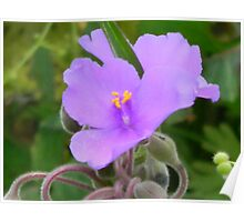 Spiderwort Flower Poster