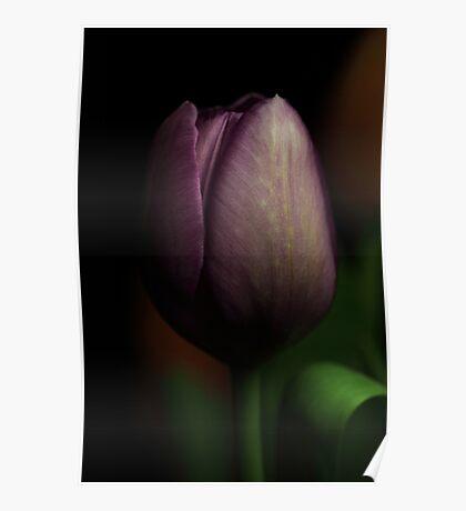 One purple tulip Poster
