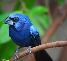 Blue Bird by PaulSava