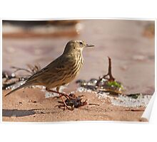 Rock Pipit at the Waterline Poster