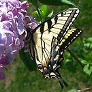 Eastern Tiger Swallowtail on Lilacs by ChuckBuckner