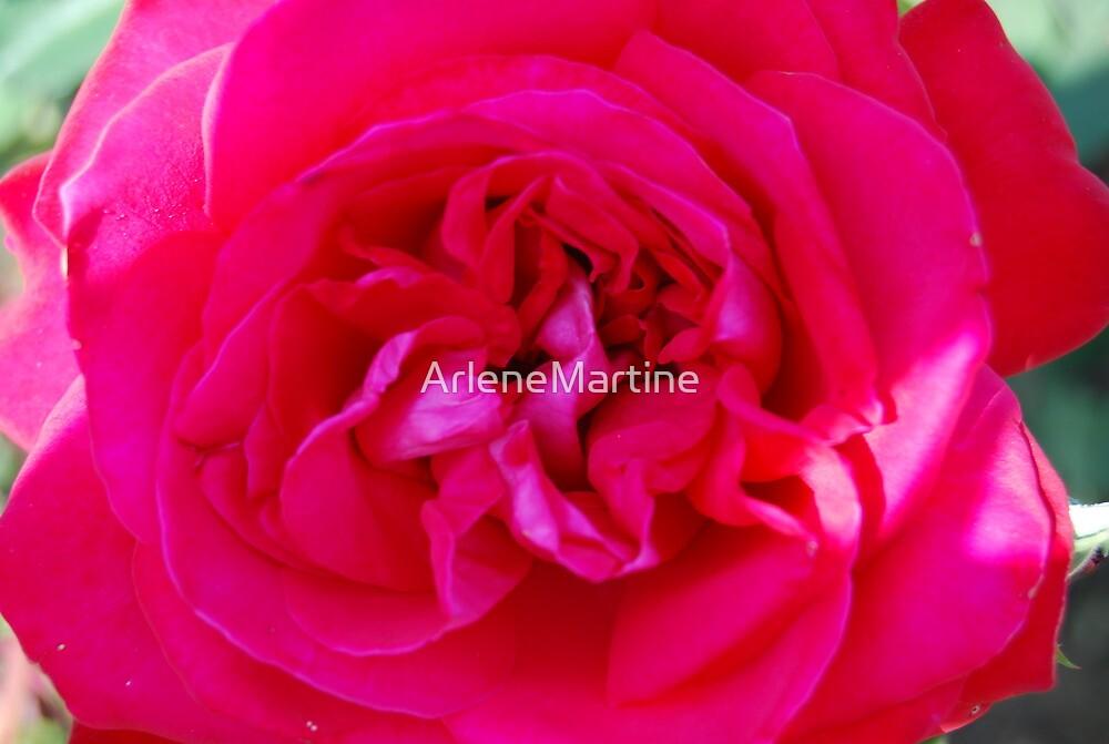 Enchanted Rose, The Flower, Rome 2009 by ArleneMartine