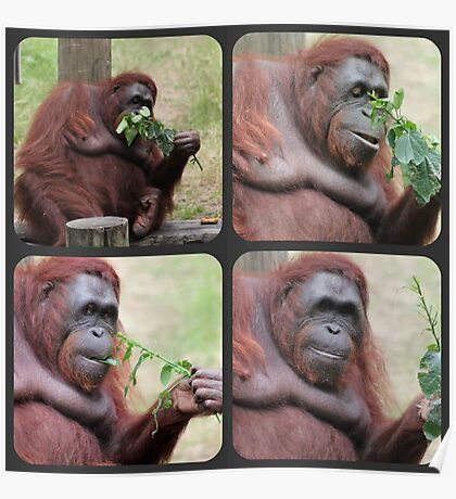 Orangutan Collage Poster