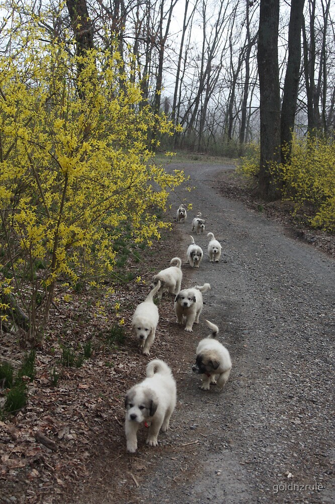 9 Pyrenees Puppies A Walking! by goldnzrule