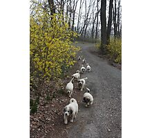 9 Pyrenees Puppies A Walking! Photographic Print