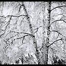 Late Snow on Birch by Aaron Bottjen