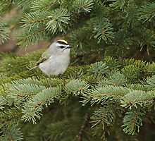 Golden Crowned Kinglet by Bill McMullen