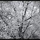 Snow Covered Tree by Aaron Bottjen